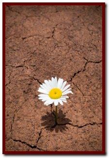 desert-daisy
